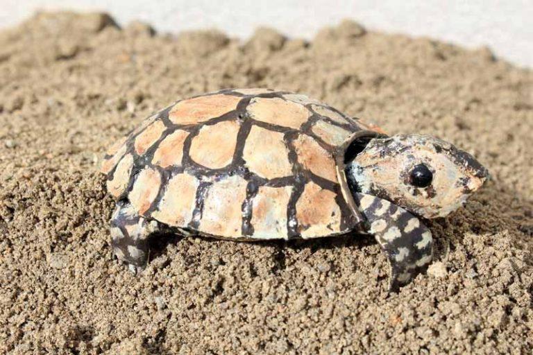 Mignonne tortue, en métal recyclé. Zimbabwe