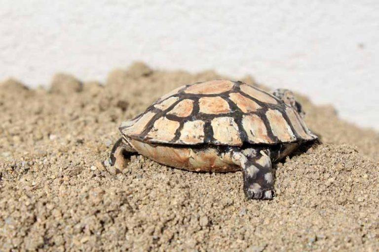 Mignonne petite tortue, en métal recyclé. Zimbabwe